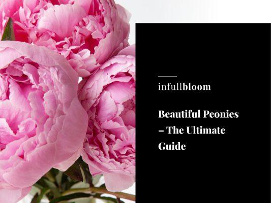 Beautiful Peonies – The Ultimate Guide